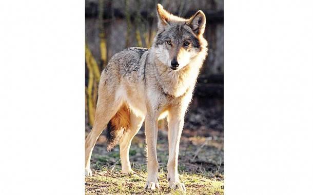 Vilkų medžioklės sezono pradžios laukia ir ūkininkai