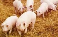 Smulkieji kiaulių augintojai gali pretenduoti į valstybės paramą