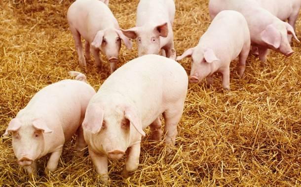 Ukmergės rajone - pirmas afrikinio kiaulių maro atvejis