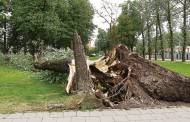 Išvertė didelį, bet silpną medį