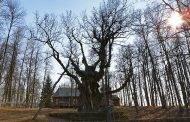 Renkamas Metų medis