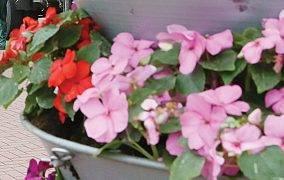 Pareigūnai pavogtų gėlių savininką atrado pagal nubyrėjusius žiedus