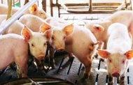 Kiaulių laikytojai gali pasinaudoti parama