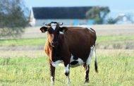 Toliau didėja parama už pienines karves