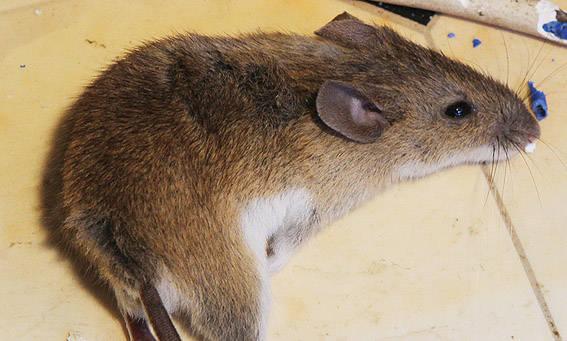 Primena apie graužikų keliamų ligų grėsmes